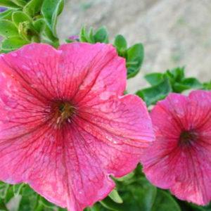 Petunia Nana Compacta Rose of Heavens Pink
