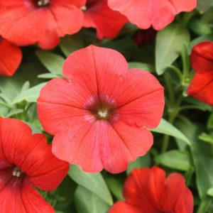 Petunia Nana Compacta Scarlet Red