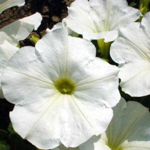 Petunia Nana Compacta Snowball White