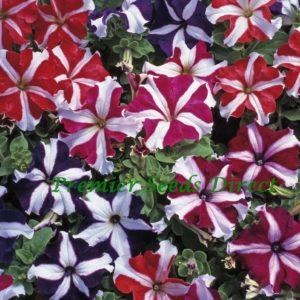 Petunia Grandiflora F1 Express Star Mix