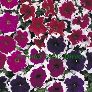 Petunia Grandiflora F1 Express Ice Mix