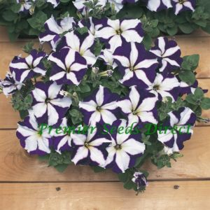 Petunia Multiflora F1 Frenzy Blue Star