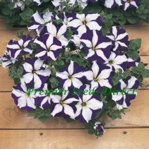 Petunia Multiflora F1 Frenzy Blue Star
