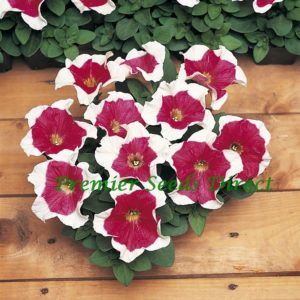 Petunia Multiflora F1 Frenzy Red Frost
