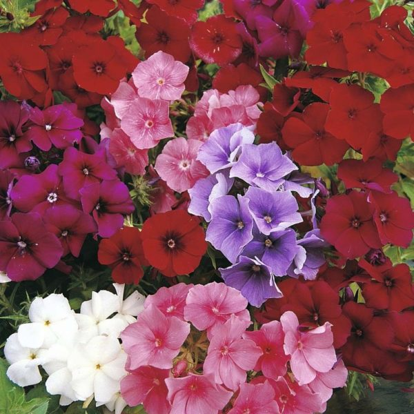 Phlox Drumondii Beauty Mix
