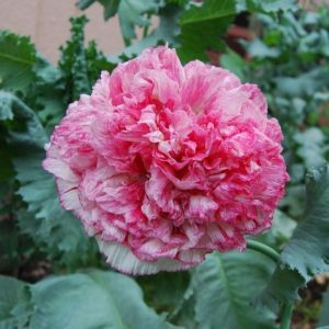 Poppy Papaver Som. Flemish Antique