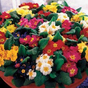 Primrose Crown Mixed