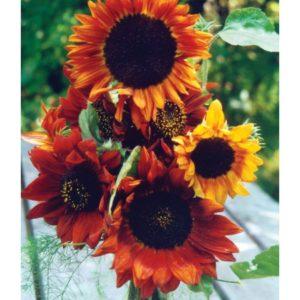 Sunflower Earthwalker