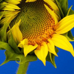 Sunflower Giant Grey Striped