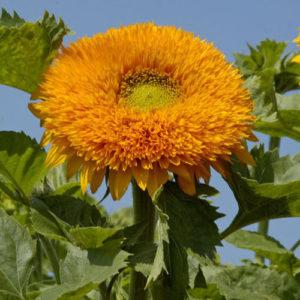 Sunflower Orange Sun Double