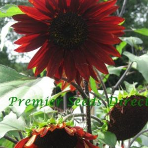 Sunflower Red Sun