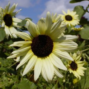 Sunflower Vanilla Ice