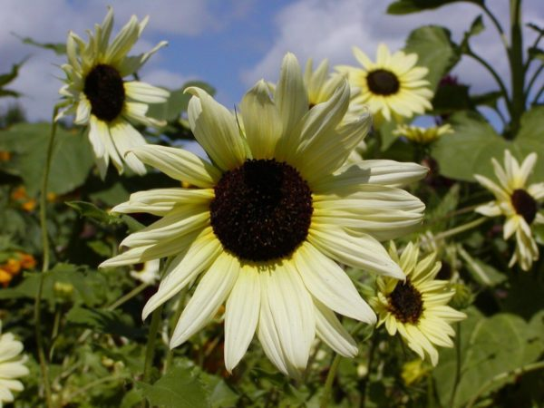 Sunflower Vanilla Ice