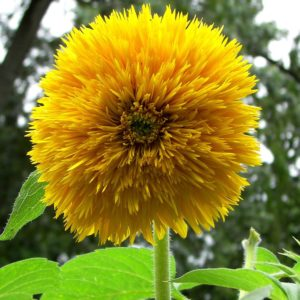 Sunflower Sungold Dwarf Organic
