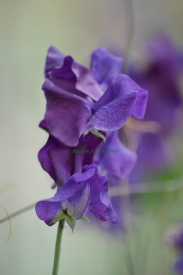 Sweet Pea Blue Velvet Spencer