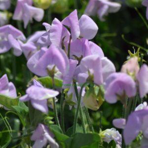 Sweet Pea Dwarf Cupid Lavender