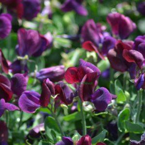 Sweet Pea Dwarf Cupid Purple