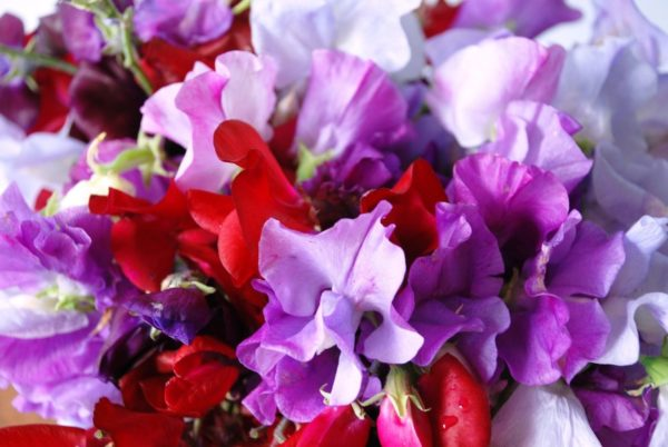 Sweet Pea Royal Family Mix