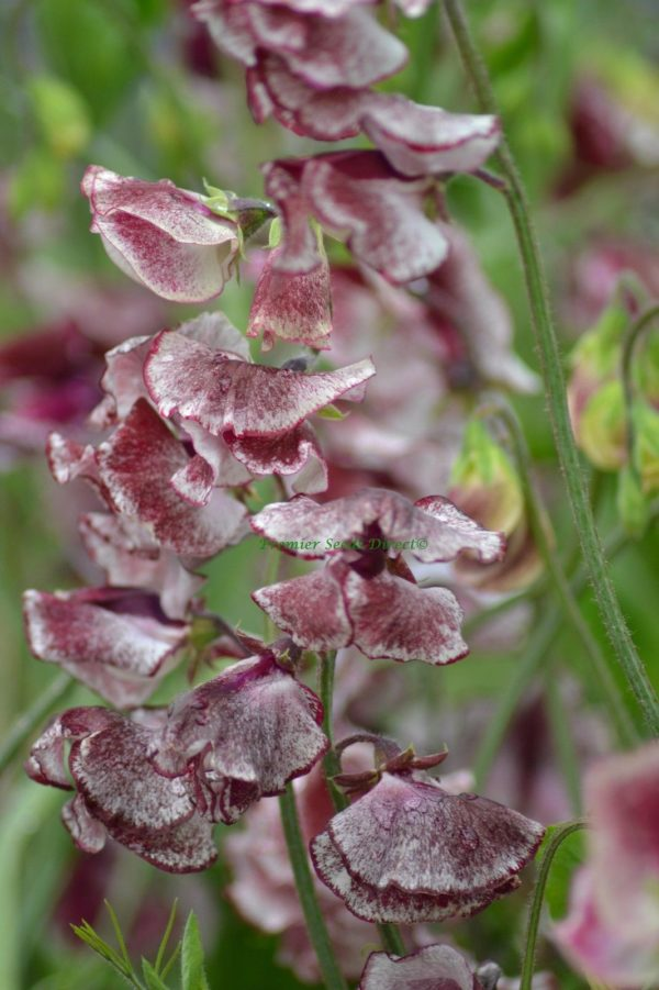 Sweet Pea Spencer Wiltshire Ripple