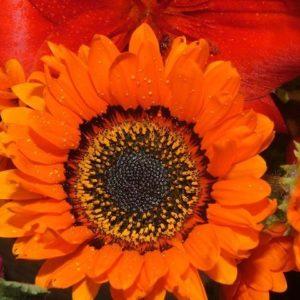 Venidium Cape Daisy Orange Prince
