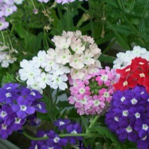 Verbena Hybrida Ideal Florist Mix