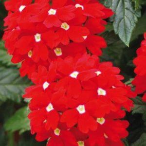Verbena Hybrida Red With White Eye