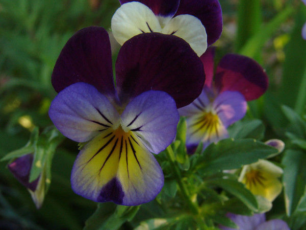Viola Helens Mount Johnny Jump Up