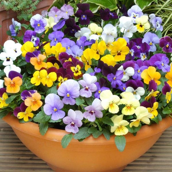 Viola Cornuta Large Flower Mix