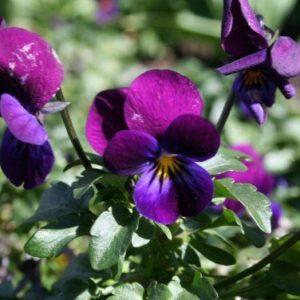 Viola Cornuta Prince Henry