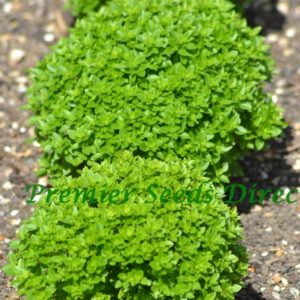 Herb Basil Dwarf Greek