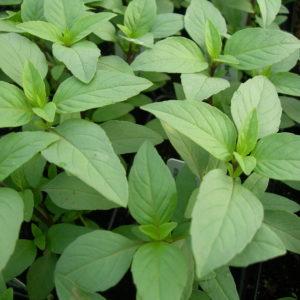 Herb Basil Lime Ocimum Basilicum