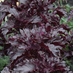 Herb Basil Purple Ruffles