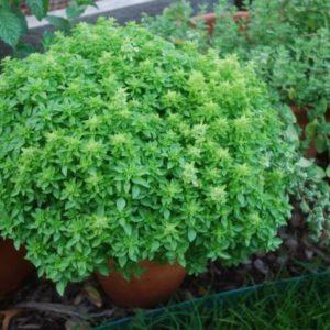 Herb Basil Spicy Globe Bush