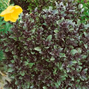 Herb Basil Corsican Organic
