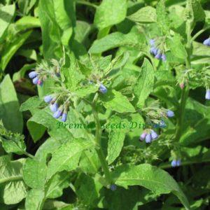 Herb Comfrey Symphytum Officinale