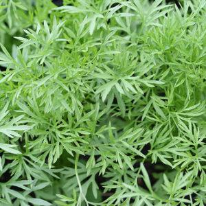 Herb Coriander Confetti
