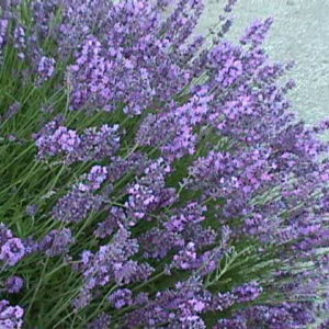 Lavender Common English