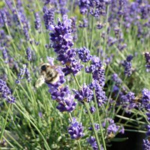 Lavender Lavendula Angustifolia Blue River