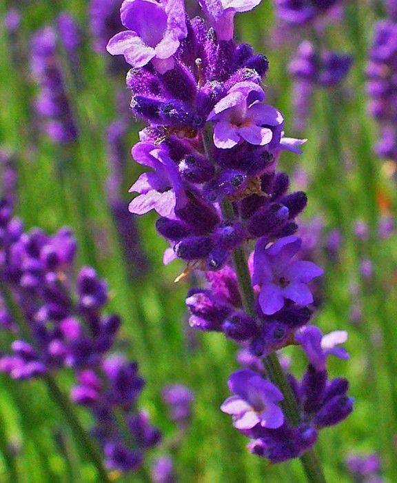 Lavender Lavendula Angustifolia Munstead Dwarf