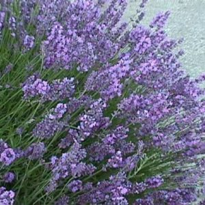 Lavender Common English Organic