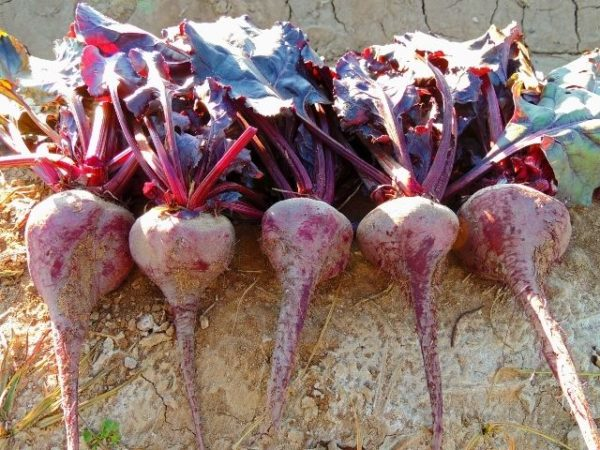 Beetroot Bulls Blood Organic