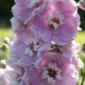 Delphinium Dwarf Magic Fountain Cherry Blossom With White Bee
