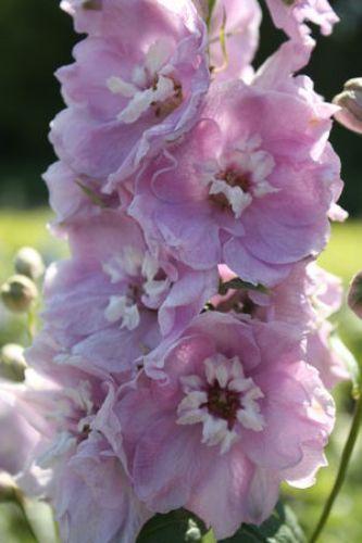 Delphinium Dwarf Magic Fountain Cherry Blossom With White Bee