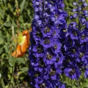 Delphinium Dwarf Magic Fountain Series Dark Blue With Dark Bee