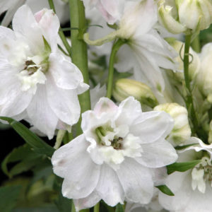 Delphinium Dwarf Magic Fountain Series Pure White