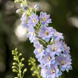 Delphinium Dwarf Magic Fountain Series Sky Blue With White Bee