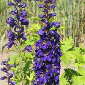 Delphinium Pacific Giant Black Knight
