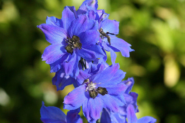 Delphinium Pacific Giant Blue Jay