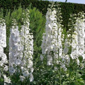 Delphinium Pacific Giant Gallahad