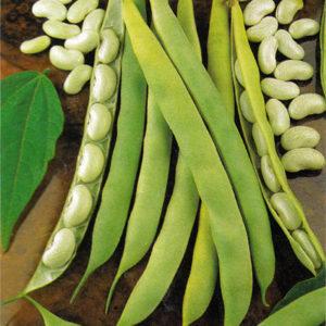 Dwarf Bean Cannellino Lingot